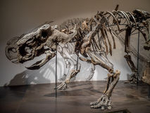 Dinosaur fossil exhibit Stock Images