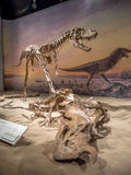 Dinosaur fossil exhibit Royalty Free Stock Image