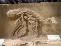 Dinosaur fossil exhibit Royalty Free Stock Photography