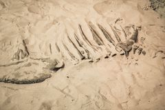 Dinosaur fossil found, Primitive animals bone in sand Royalty Free Stock Photo