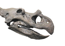 Dinosaur fossil head skull isolated. Fossil skull head of a ceratopsian dinosaur, related to Triceratops.  Isolated on white Royalty Free Stock Photography