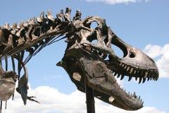 Dinosaur fossil. Tyrannosaurus Rex mounted skeleton, Museum of the Rockies, Bozeman, Montana, USA Royalty Free Stock Image