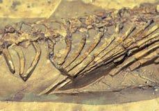 Dinosaur fossil Stock Image