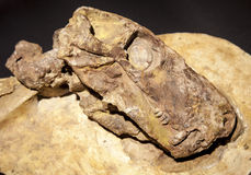 Dinosaur fossil Royalty Free Stock Photos
