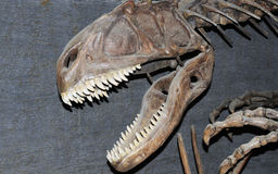 Dinosaur fossile Stock Images