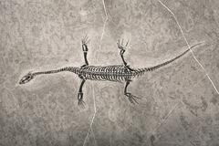 Dinosaur fossils Royalty Free Stock Image