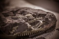Dinosaur fossils, Jurassic era, Paleontological excavations stock photography