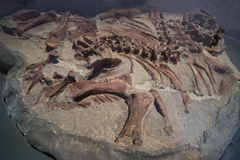 Dinosaur Fossils Royalty Free Stock Photography