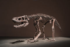 Dinosaur Fossils Royalty Free Stock Photos