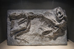 Dinosaur Fossils Stock Photo
