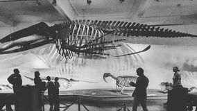 Dinosaur historical skeleton gray old. Huge dinosaur being watched by some scientists royalty free stock images