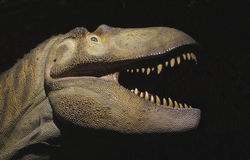 Dinosaur model head and neck isolated. Model head and neck of a theropod dinosaur.  Isolated on black Royalty Free Stock Images