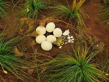 Dinosaur nest. Baby dinosaur hatching. Royalty Free Stock Image