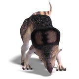 Dinosaur Protoceratops Stock Image
