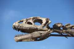 Dinosaur's head skull and blue sky, Ischigualasto Stock Photography