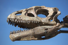 Dinosaur's head skull and blue sky, Ischigualasto Royalty Free Stock Photo
