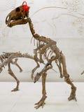 Upright dinosaur`s skeleton in paleontology museum. Dinosaur`s skeleton in paleontology museum. Upright dinosaur. Dinosaur on two legs stock image