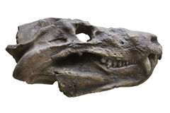 Dinosaur's skull Stock Photography