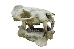 Dinosaur's skull Royalty Free Stock Images