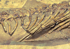 Dinosaur skamielina Obraz Stock