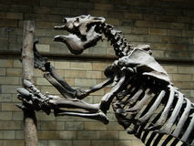 Dinosaur skeleton. Leaning against the stump of a tree royalty free stock images