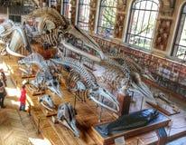 Dinosaur skeleton ( big fishes). Jardin des plantes, Paris France Stock Photos