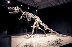 Dinosaur skeleton Royalty Free Stock Photo