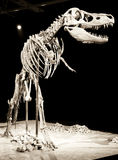 Dinosaur skeleton stock photography