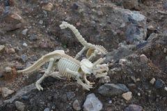 Dinosaur skeleton - Brontosaurus and Triceratops. These are skeletons of  Brontosaurus and Triceratops toy Stock Photo