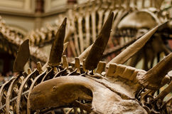 Dinosaur skeleton Royalty Free Stock Photos