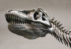 a dinosaur skeleton royalty free stock images