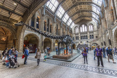 Dinosaur skeleton in the Natural History Museum Royalty Free Stock Photos