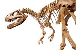 Dinosaur skeleton over white isolated background. Royalty Free Stock Images