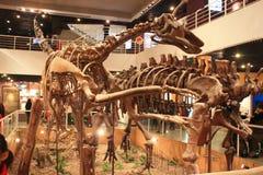 Dinosaur skeleton Royalty Free Stock Photo