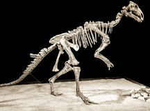 Dinosaur skeleton - Probactrosaurus Stock Images