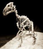 Dinosaur skeleton - Probactrosaurus royalty free stock image