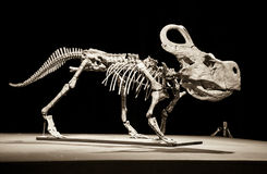 Dinosaur skeleton - Protoceratops royalty free stock image