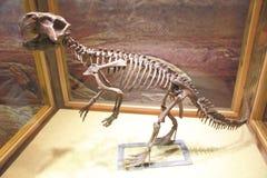 The dinosaur skeleton Stock Images