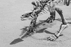 The dinosaur skeleton Royalty Free Stock Images