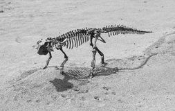 The dinosaur skeleton Royalty Free Stock Photography