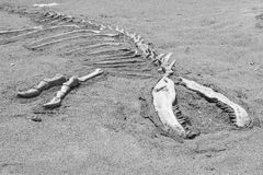 The dinosaur skeleton Stock Images