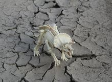 Dinosaur skeleton of Triceratops on parched ground. This is skeleton of Triceratops - toy Royalty Free Stock Photos