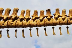 Dinosaur skeleton. Dinosaur skeleton,tyrannosaurus rex isolated on white cloud Stock Images