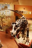 Dinosaur Skeleton in Washington Museum Stock Image