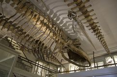 Dinosaur skeletons Harvard museum of natural history stock image