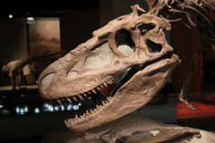 Dinosaur skull Royalty Free Stock Image
