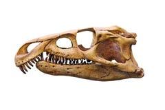 Dinosaur skull. In paleontological  museum Royalty Free Stock Photo