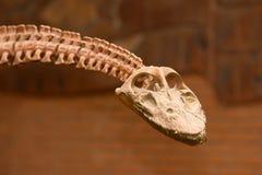 Dinosaur skull. In paleontological  museum Stock Photos