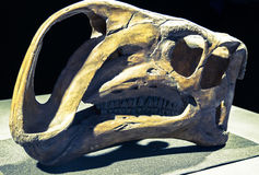 Dinosaur skull - Althirhinus Royalty Free Stock Photos