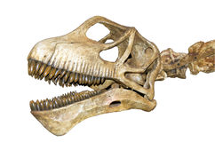 Dinosaur skull isolated